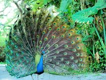 Peacock, Florida Stock Images