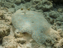 Peacock flounder Stock Photos