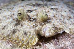 Peacock flounder Stock Photography