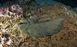 Peacock Flounder Stock Image