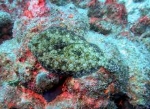 A Peacock Flounder in Full Camouflage. A Peacock Flounder tries camouflage on coral but it`s the wrong color for the situation which makes it stand out royalty free stock photography