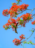Peacock flower, Caesalpinia pulcherrima flowering in summer. Royalty Free Stock Images