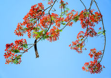 Peacock flower, Caesalpinia pulcherrima flowering in summer. Stock Photo