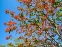 Peacock flower, Caesalpinia pulcherrima flowering in summer. Royalty Free Stock Image