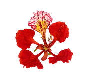 Peacock flower, Delonix regia isolated on white background Royalty Free Stock Images
