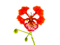 Peacock flower isolated on white background. Peacock's Crest flowers or Caesalpinia pulcherrima isolated on white background Royalty Free Stock Image