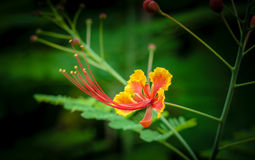 Peacock Flower. Picture of Red and Yellow peacock flower on green background stock images