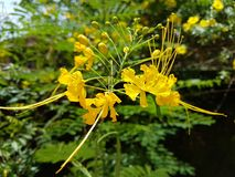 Peacock Flower - Ratnagandhi. Caesalpinia pulcherrima is a species of flowering plant in the pea family, Fabaceae, native to the tropics and subtropics of the Royalty Free Stock Photography