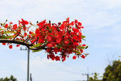 Peacock flower or  Royal Poinciana Stock Image