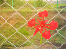 Peacock flower on the wire mesh. Stock Images