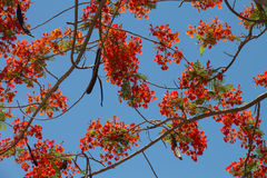 Peacock flowers on poinciana tree Royalty Free Stock Photography