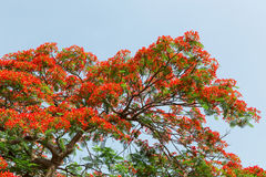 Peacock flowers on poinciana tree Stock Image