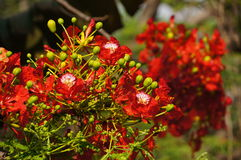 Peacock flowers in sunlight. Peacock flowers  or Royal Poinciana  in sunlight Royalty Free Stock Photo