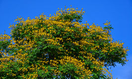 Peacock flowers on tree in summer Stock Image