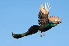Peacock flying. On blue sky royalty free stock photography