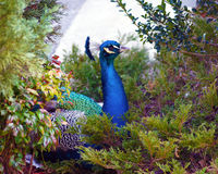 Peacock in foilage. A peacock hiding in green foliage peeking out royalty free stock image