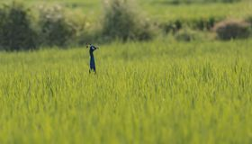 Peacock foraging in a paddy field, with visible head and hidden body. Peacocks foraging near a paddy field in a south indian village royalty free stock image