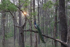Peacock in the forest sitting on tree. Peacock in forest at evening Royalty Free Stock Image