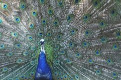 Peacock, Four Spot, Feather, Bird Royalty Free Stock Image