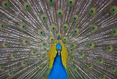 Peacock Front and Center. Front view of male peacok with tail feathers spread royalty free stock photography