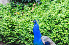 Peacock. In front of green hedge Royalty Free Stock Images