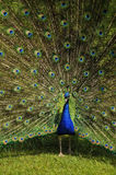 Peacock frontal view. Close portrait view of front of peacock standing on grass showing detail of colourful pattern of covert feathers Royalty Free Stock Image