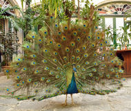 Peacock in full bloom Stock Image