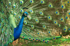 Peacock Full Bloom stock images