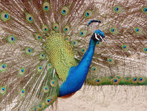 Peacock in Full Display Royalty Free Stock Images