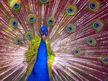 Peacock in Full Display Stock Image
