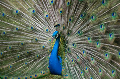Peacock in Full Display. A handsome peacock showing off his feathers Royalty Free Stock Photo