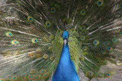 Peacock. In full feather Royalty Free Stock Images