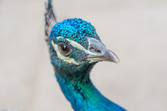 A peacock full head closeup Stock Images