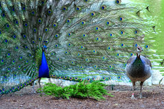 Peacock in full plumage attracting female Stock Photo
