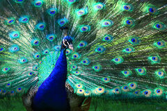 Peacock with full plumage Royalty Free Stock Image