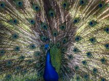 Peacock Full Spread Stock Images