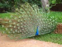 Peacock (Full View). Peacock taken at zoo, feathers spread out Royalty Free Stock Images