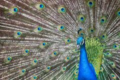 The Peacock. Funny peacock in the zoo in Rome, Italy Royalty Free Stock Images
