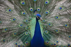 Peacock. Galliformes  aves fluffed feathers Stock Photo