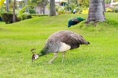 Peacock in garden Stock Photography