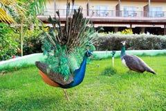 Peacock in garden Stock Images