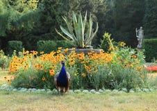 Peacock in garden Royalty Free Stock Photography