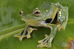 Peacock gliding tree frog Stock Photos