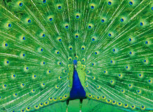 Peacock Glory. A peacock in colorful full feathered display Royalty Free Stock Images