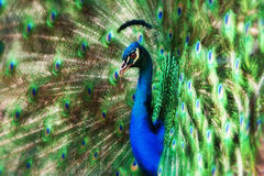 Peacock glory Royalty Free Stock Photos