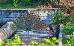 Peacock with gorgeous spread colored feathers shows his tail for his peacock lady in the Yala Nationalpark. Peacock with gorgeous spread colored feathers, shows Stock Photo