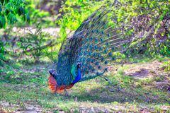 Peacock with gorgeous spread colored feathers shows his tail for his peacock lady in the Yala Nationalpark. Peacock with gorgeous spread colored feathers, shows Royalty Free Stock Photos