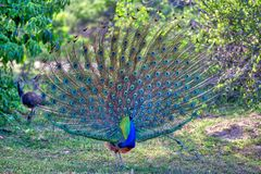 Peacock with gorgeous spread colored feathers shows his tail for his peacock lady in the Yala Nationalpark. Peacock with gorgeous spread colored feathers, shows Stock Photos