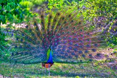 Peacock with gorgeous spread colored feathers shows his tail for his peacock lady in the Yala Nationalpark. Peacock with gorgeous spread colored feathers, shows Royalty Free Stock Image