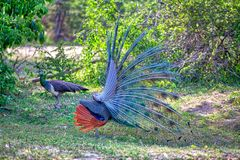 Peacock with gorgeous spread colored feathers shows his tail for his peacock lady in the Yala Nationalpark. Peacock with gorgeous spread colored feathers, shows Royalty Free Stock Photo